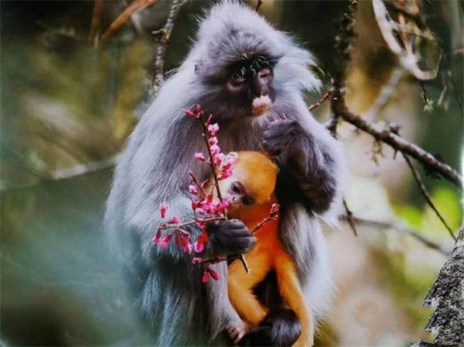 Rare phayre's leaf monkey in southwest Yunnan's Jingdong County