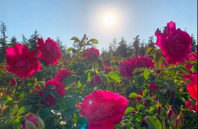 Rose in Chenggong Campus, Yunnan University