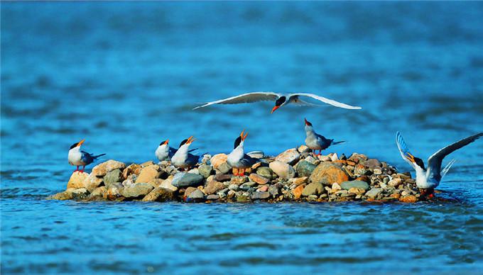 Yellow-billed river terns In Yingjiang