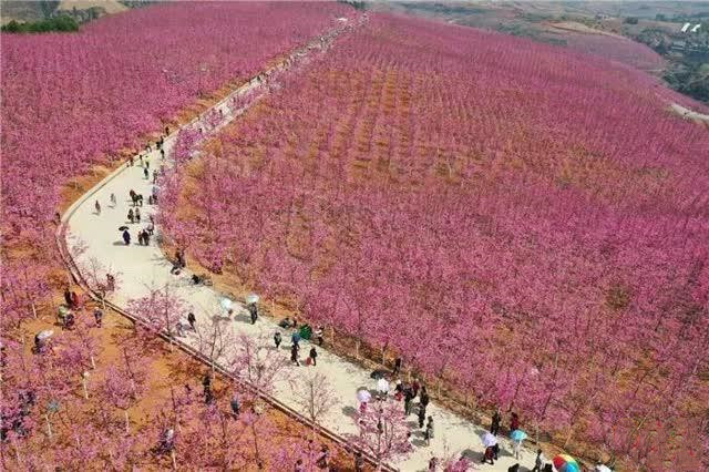 cherry blossom valley in Yiliang County of Kunming