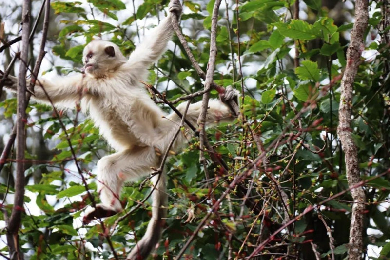 monkeys in Weixi national park