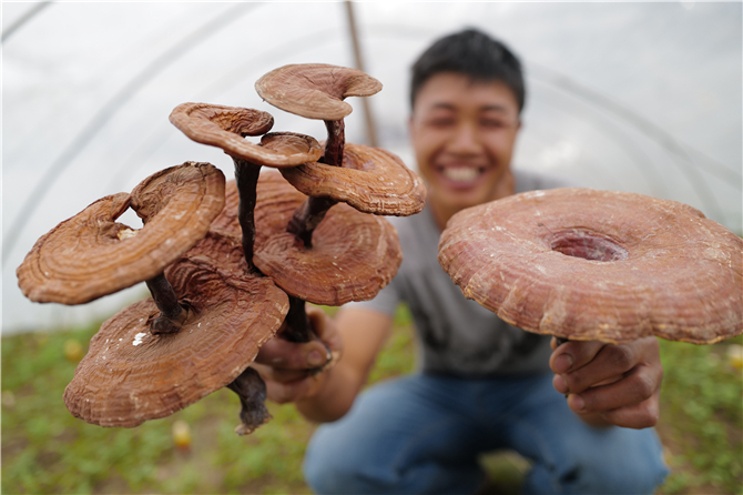 Linzhi mushroom in Jingdong County of Pu'er