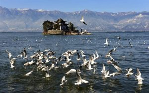 Sea gulls are seen flying over Erhai Lake in Dali in Southwest China's Yunnan province