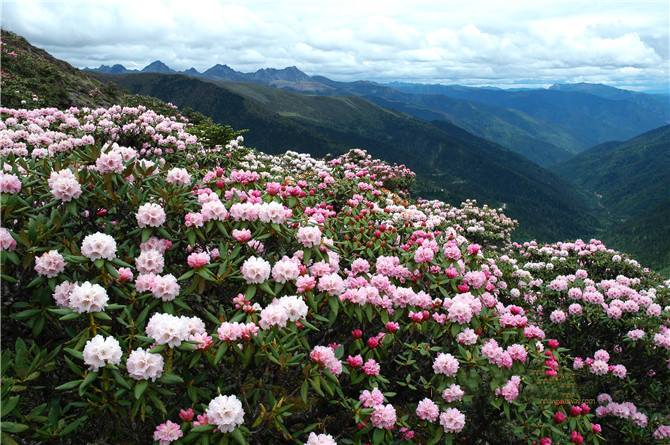 The Rhododendron woods in the Baima Snow Mountain, Shangri-la