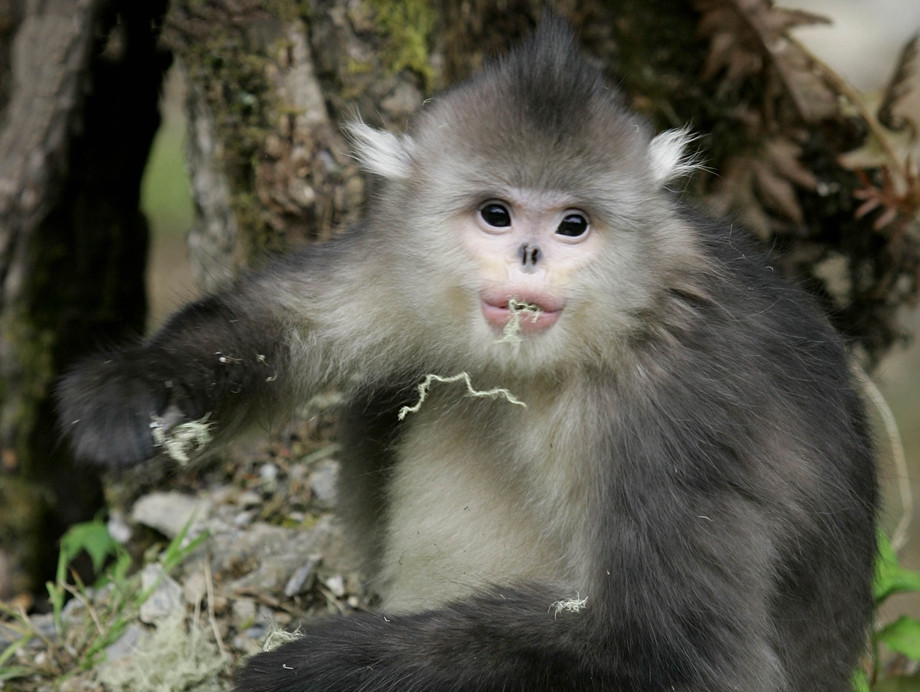 Yunnan snub-nosed monkeys at Baima Snow Mountain Nature Reserve of Deqin, Diqing