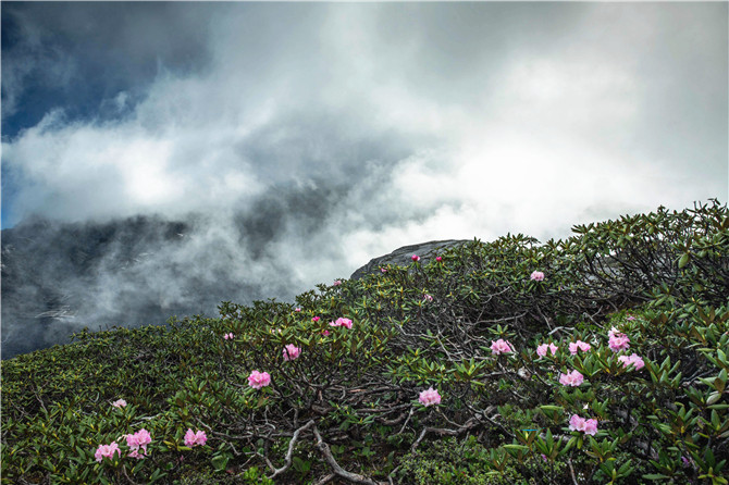 azaleas at the Balagezong scenic area in Shangri-La