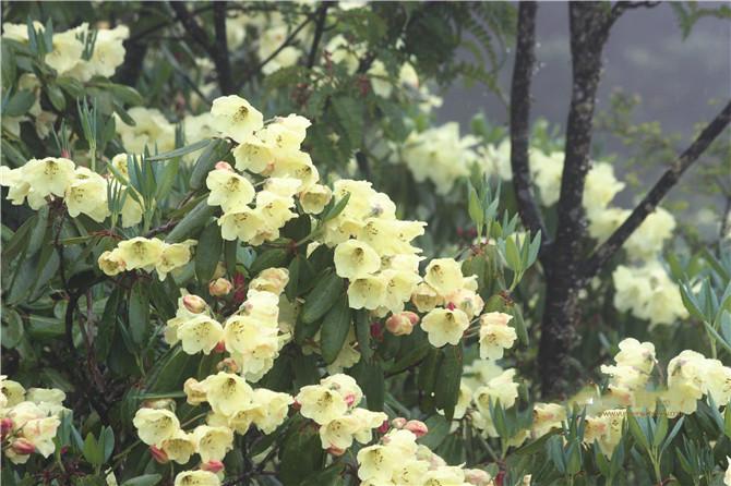 wild azalea in Shangri-la, Diqing