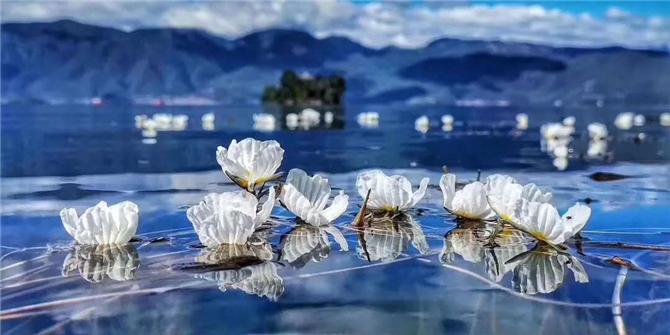 Ottelia acuminata in Lugu Lake of Lijiang, Yunnan