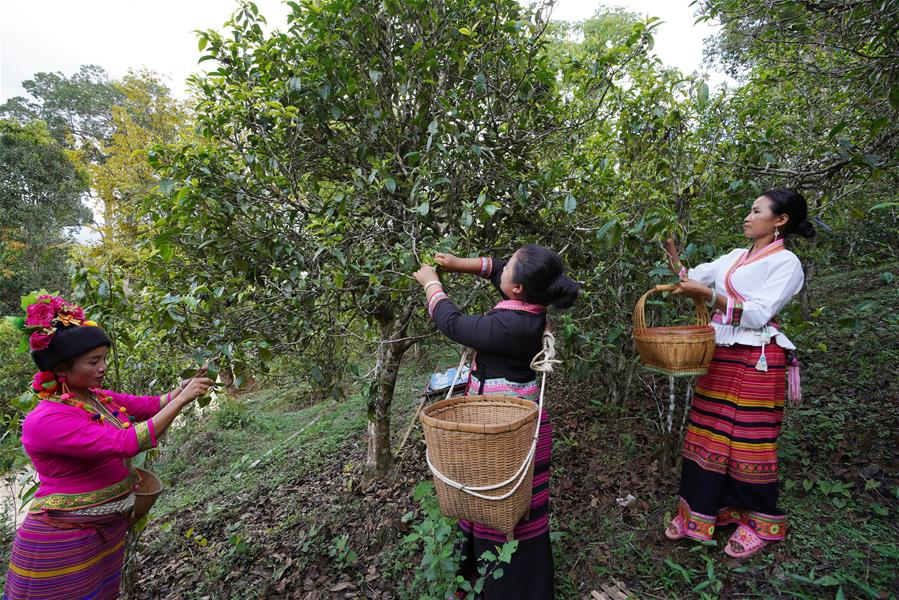 Tea picking is a typical job for Bulang females.