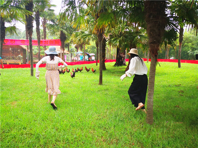 Tourists try to catch roosters in the Yunnan Nationalities Village on July 7