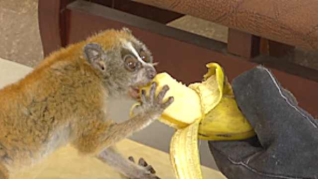 pygmy slow loris is eating banana.