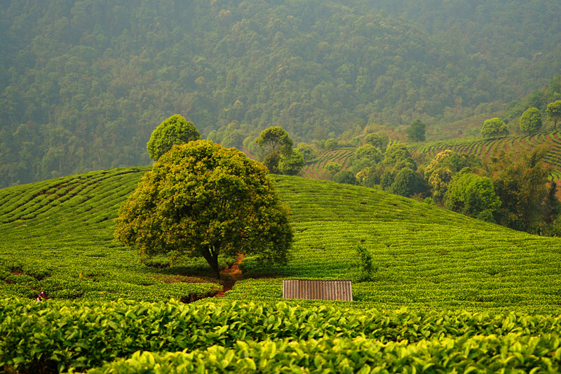 Tea Garden in Yunnan