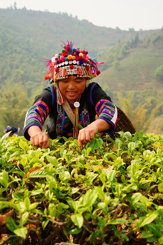 Tea picking in Yunnan