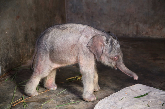 The newborn baby elephant is pictured at the Asian Elephant Breeding and Rescue Center in Xishuangbanna, Yunnan province