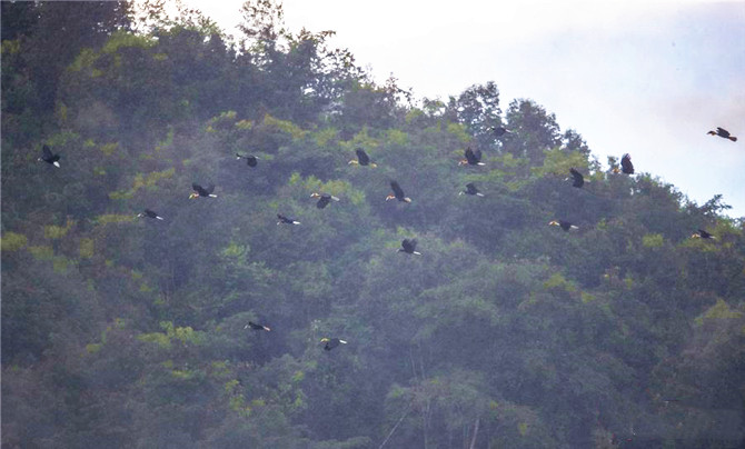 About 100 hornbills were spotted in southwest China's Yunnan Province- the first time such a large flock has been seen