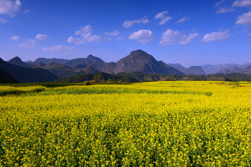 Canola flowers in Luoping County, Qujing, Yunnan