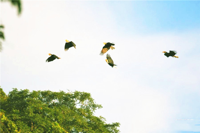 Hornbills were spotted in southwest China's Yunnan Province- the first time such a large flock has been seen
