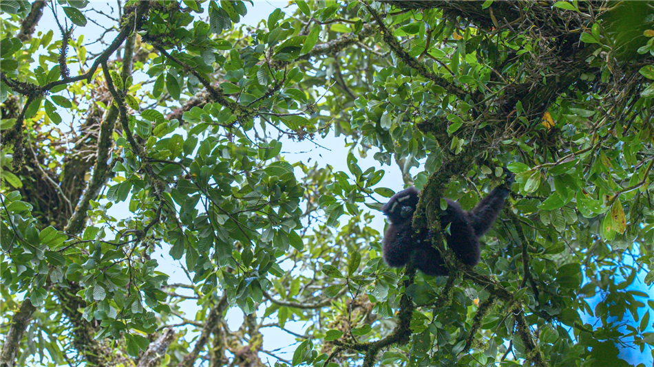 Hoolock gibbons in the Gaoligong Mountains, southwest China's Yunnan Province