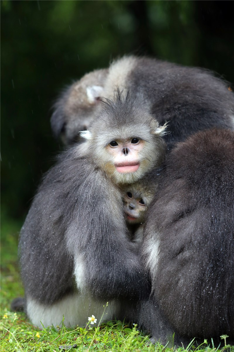 Snub-Nosed Monkey in the Diqing of Yunnan province