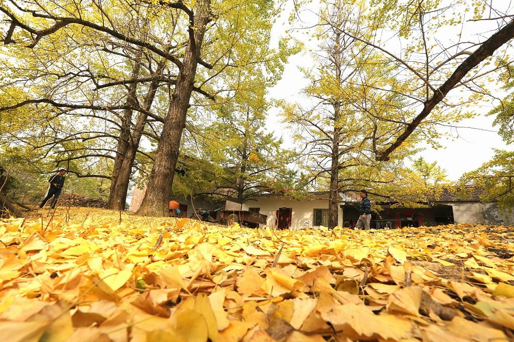 The ginkgo trees in Haiyangxiang, south China's Guilin City
