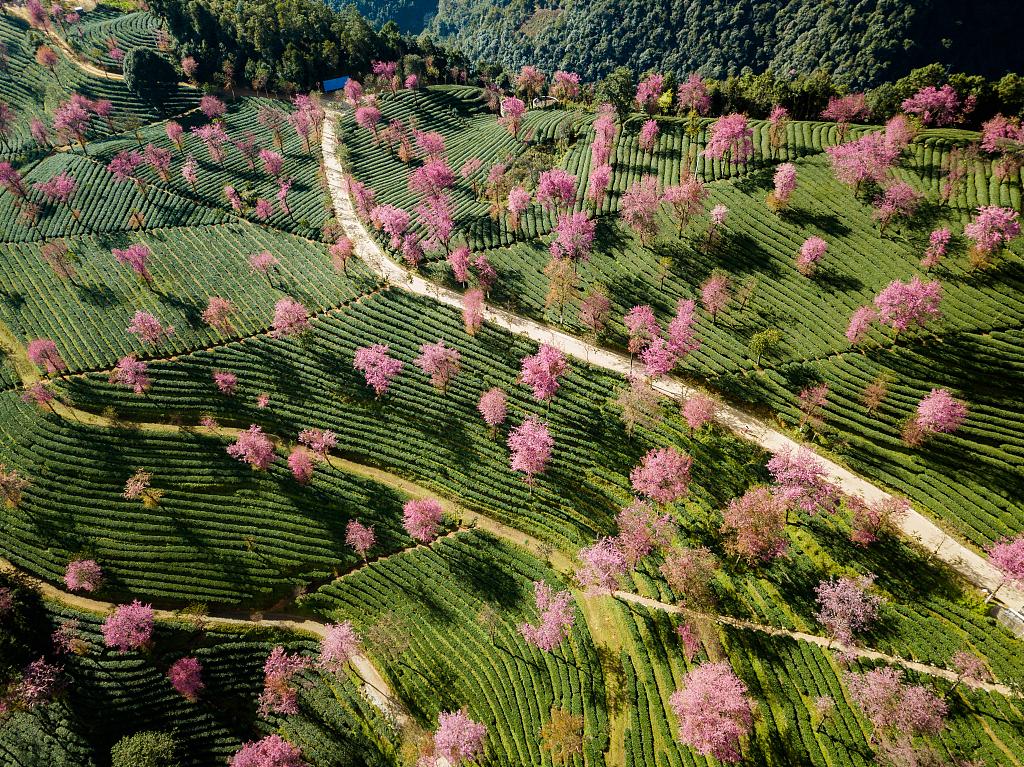 The stunning sakura flowers dot the hillsides in Wuliangshan Sakura Valley of Nanjian County, Dali