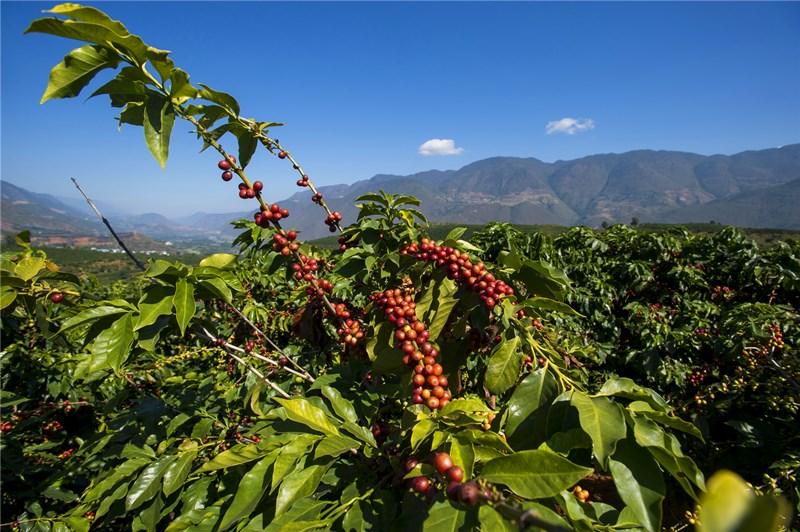 Yunnan Coffee