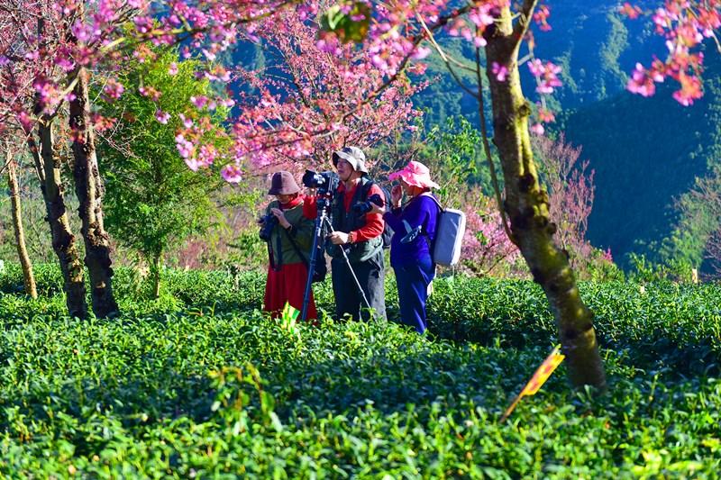 Cherry Blossoms in Wuliang Township of Nanjian County, Dali, Yunnan