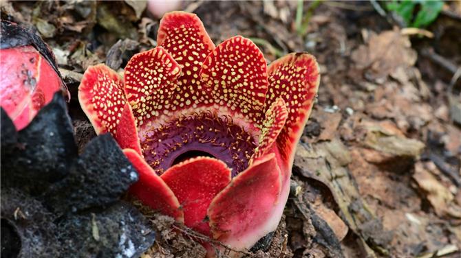 Himalayas saprias, a parasitic flowering plantin Xishuangbanna, southwest China's Yunnan Province