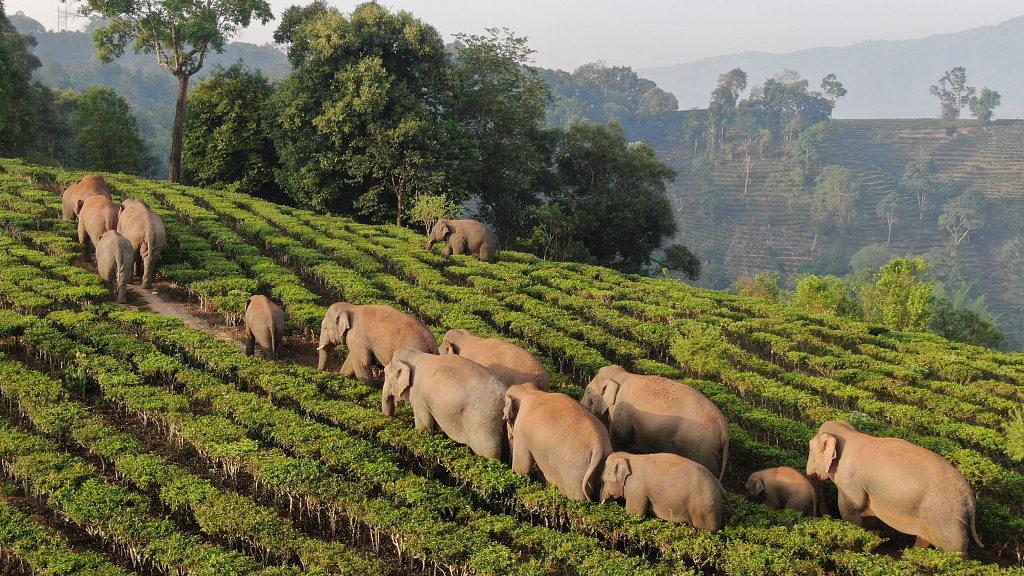 Wild Asian elephants roam in Xishuangbanna, SW China's Yunnan